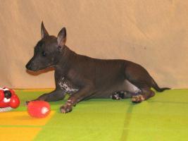 Foto 5 Xoloitzquintle - mexikanische Hund
