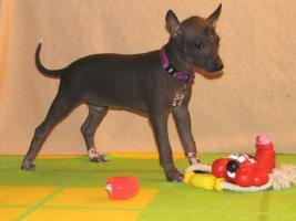 Foto 6 Xoloitzquintle - mexikanische Hund