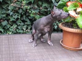 Foto 9 Xoloitzquintle - mexikanische Hund