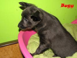 Foto 3 Xoloitzquintle - mexikanische Hund mit Ahnentafel