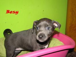 Foto 4 Xoloitzquintle - mexikanische Hund mit Ahnentafel