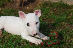 YPSILON  the Warrior    Miniatur Bullterrier