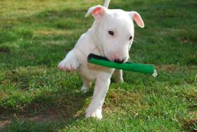 Yatzy the Warrior   Miniatur Bullterrier