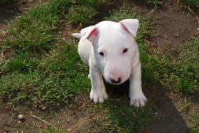 Foto 4 Yatzy the Warrior   Miniatur Bullterrier