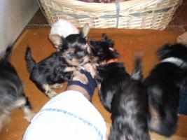 Foto 4 Yokshire Terrier Welpen