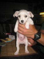 Foto 3 Yorkie-Chihuahua Welpen
