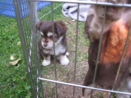 Foto 5 Yorkie-Chihuahua Welpen