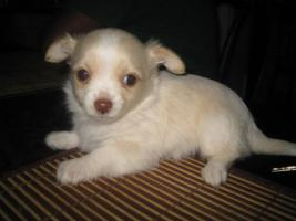 Foto 6 Yorkie-Chihuahua Welpen