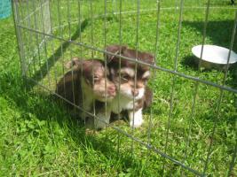 Foto 11 Yorkie-Chihuahua Welpen