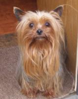 Foto 4 Yorkshier Terrier Welpen