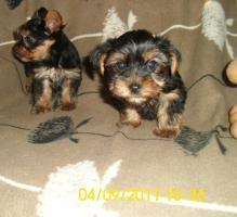 Foto 2 Yorkshier Terrier Welpen