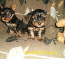 Foto 3 Yorkshier Terrier Welpen