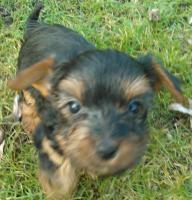 Foto 4 Yorkshire Terrier