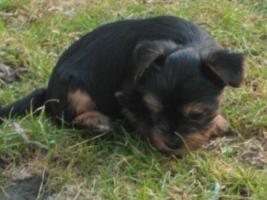 Foto 6 Yorkshire Terrier
