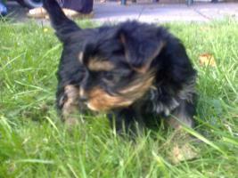 Foto 7 Yorkshire Terrier