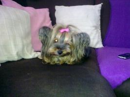 Foto 8 Yorkshire Terrier