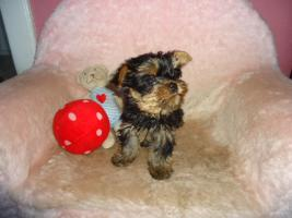 Foto 2 Yorkshire-Terrier