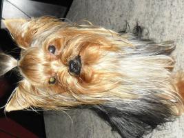Foto 3 Yorkshire-Terrier