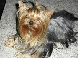 Foto 4 Yorkshire-Terrier