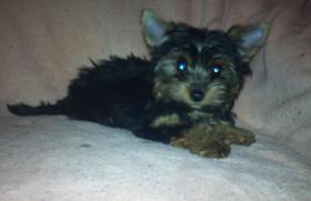 Foto 2 Yorkshire Terrier Baby