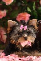 Foto 6 Yorkshire Terrier Babys