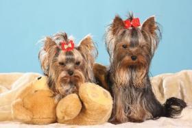 Foto 8 Yorkshire Terrier Babys