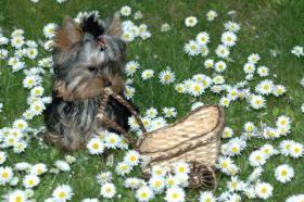 Foto 9 Yorkshire Terrier Babys