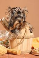 Foto 5 Yorkshire Terrier Babys