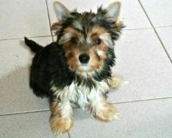 Foto 2 Yorkshire Terrier zum Barbarakreuz