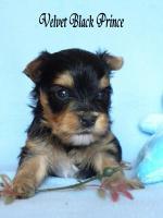 Foto 2 Yorkshire Terrier/Biewer Träger