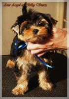 Foto 2 Yorkshire-Terrier von Champion Abstammung zum Verkauf
