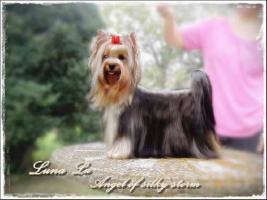 Foto 3 Yorkshire-Terrier von Champion Abstammung zum Verkauf