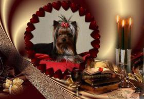 Foto 4 Yorkshire-Terrier von Champion Abstammung zum Verkauf