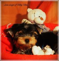 Foto 5 Yorkshire-Terrier von Champion Abstammung zum Verkauf