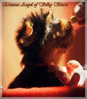 Foto 8 Yorkshire-Terrier von Champion Abstammung zum Verkauf