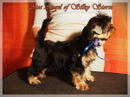 Foto 9 Yorkshire-Terrier von Champion Abstammung zum Verkauf