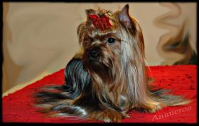 Foto 2 Yorkshire Terrier Exlusive