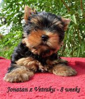 Foto 2 Yorkshire Terrier FCI reg. Reinrassige Welpen