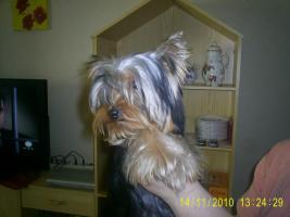 Foto 2 Yorkshire Terrier Hündin 6 mon