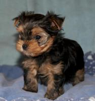 Yorkshire Terrier Hündin black and tan