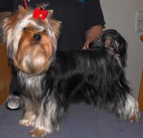 Foto 3 Yorkshire Terrier Junghündin VDH