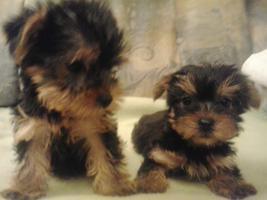 Foto 2 Yorkshire Terrier Puppies