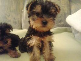 Foto 3 Yorkshire Terrier Puppies