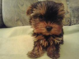 Foto 4 Yorkshire Terrier Puppies