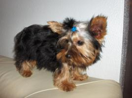 Yorkshire Terrier Rüde 3 Monate alt