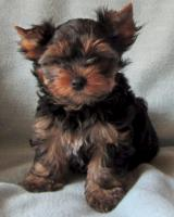 Yorkshire Terrier Rüde black and tan