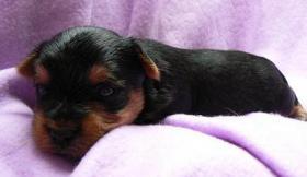 Foto 2 Yorkshire Terrier Welpe (Rüde) aus seriöser VDH-Urlaubszucht sucht neues Zuhause
