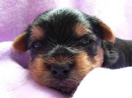 Foto 3 Yorkshire Terrier Welpe (Rüde) aus seriöser VDH-Urlaubszucht sucht neues Zuhause