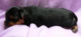 Foto 4 Yorkshire Terrier Welpe (Rüde) aus seriöser VDH-Urlaubszucht sucht neues Zuhause