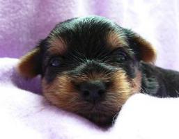 Foto 5 Yorkshire Terrier Welpe (Rüde) aus seriöser VDH-Urlaubszucht sucht neues Zuhause